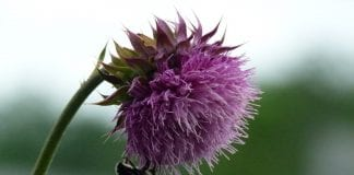 Milk Thistle for Acne